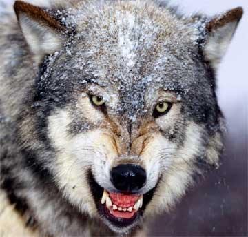 Wolf eating rabbit - photo#15